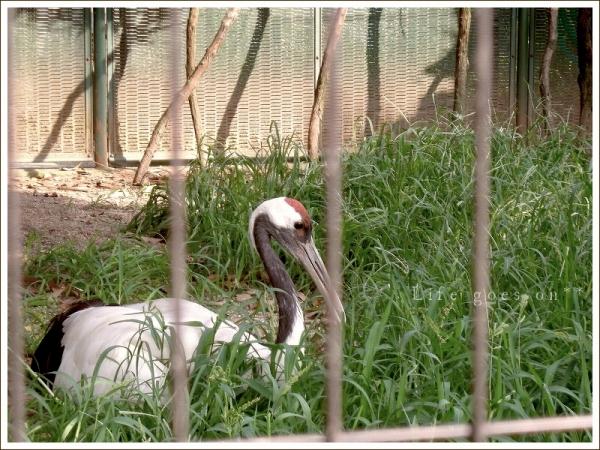 天王寺動物園 鶴・・・??_b0155684_1658336.jpg