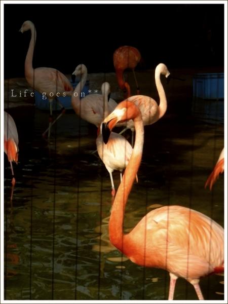 天王寺動物園 フラミンゴ^^_b0155684_1721818.jpg