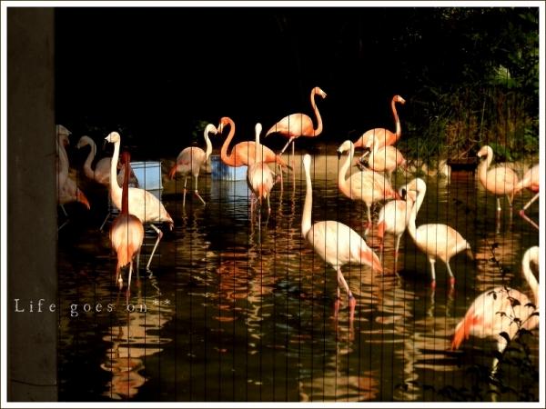 天王寺動物園 フラミンゴ^^_b0155684_1721855.jpg