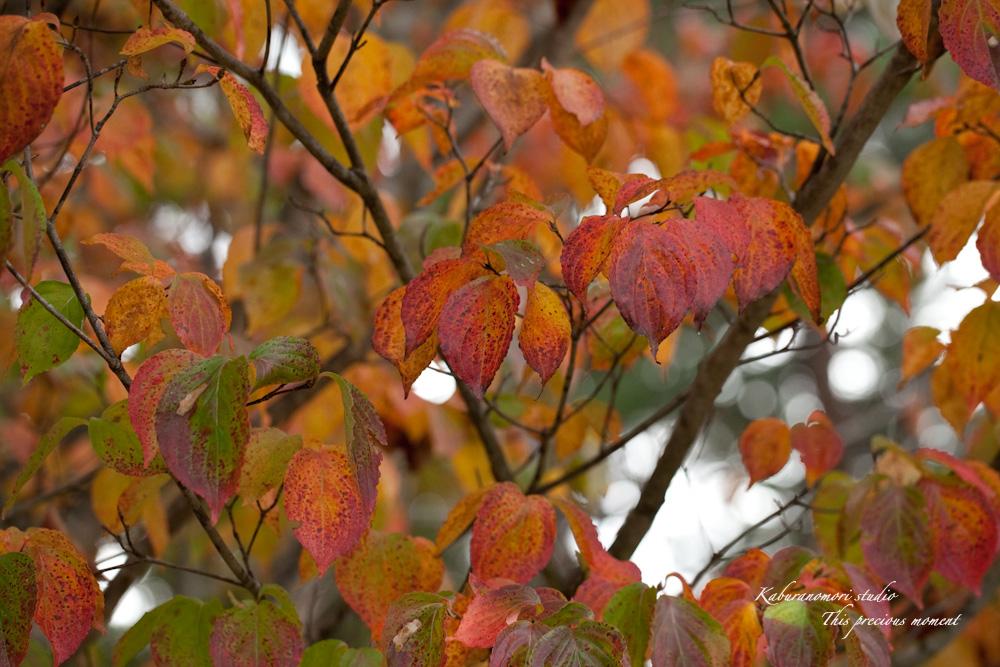 寒さと共に降りて来ました紅葉前線_c0137403_18534278.jpg