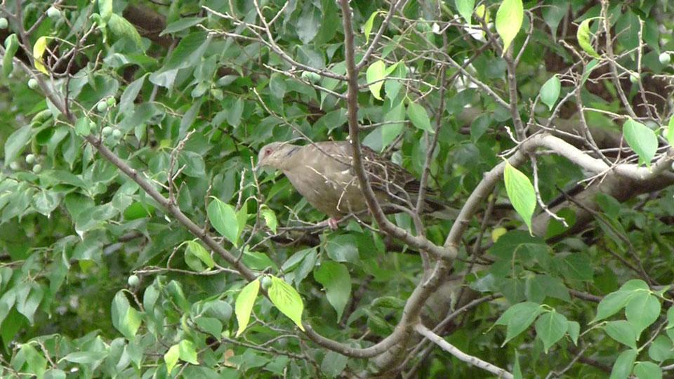 木の実を取ろうとしている キジバト (街の鳥さんたち)_e0088233_21275472.jpg