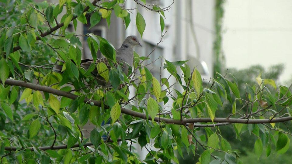 木の実を取ろうとしている キジバト (街の鳥さんたち)_e0088233_21281383.jpg