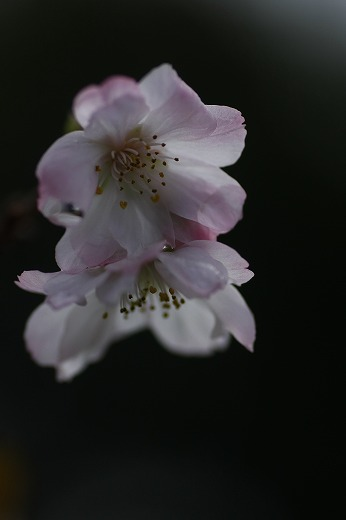 十月桜_c0155950_7201147.jpg