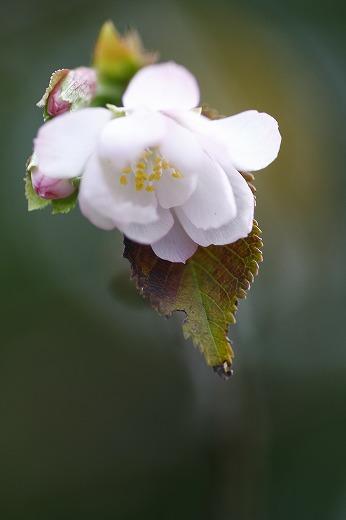 十月桜 2_c0155950_7211935.jpg