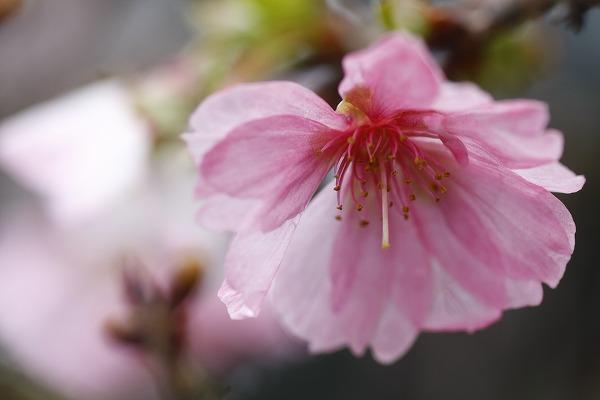 十月桜 3_c0155950_7225471.jpg