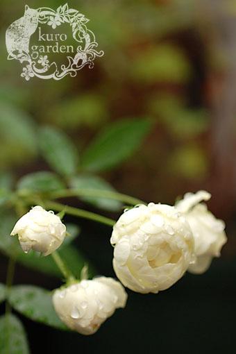 白バラ・赤バラ_e0119151_16355236.jpg