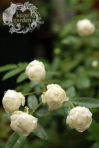 白バラ・赤バラ_e0119151_1635557.jpg