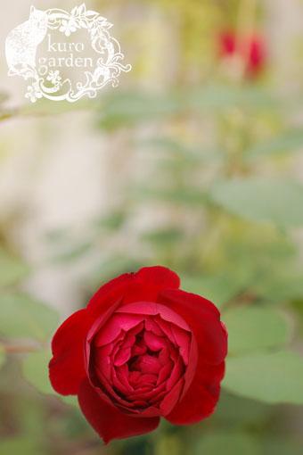 白バラ・赤バラ_e0119151_1638235.jpg