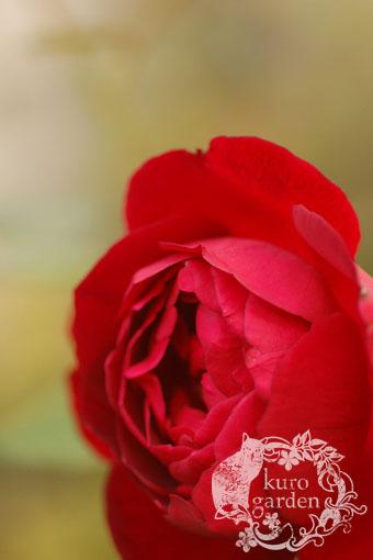 白バラ・赤バラ_e0119151_16382555.jpg