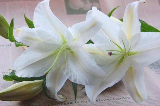 カサブランカ (植物)の画像 p1_11