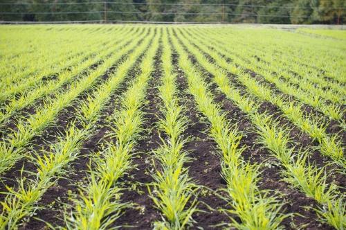 霜の降りたあとの小麦 再び石拾い_c0110869_2134151.jpg