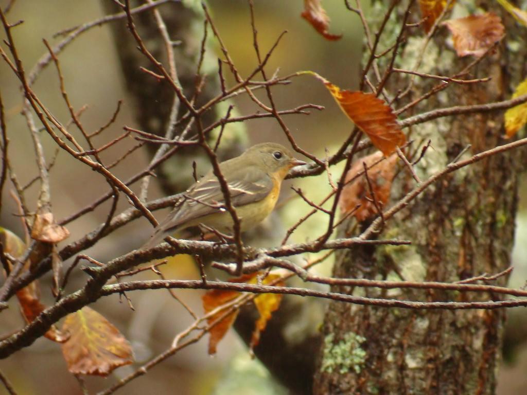 秋色の中にムギマキ_f0024068_5244132.jpg