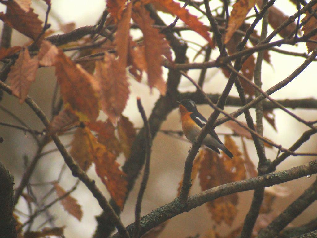 秋色の中にムギマキ_f0024068_665483.jpg