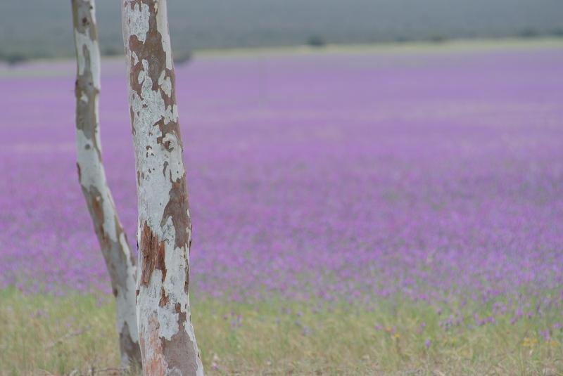 西オーストラリアワイルドフラワー 自然デザイン_f0050534_845777.jpg