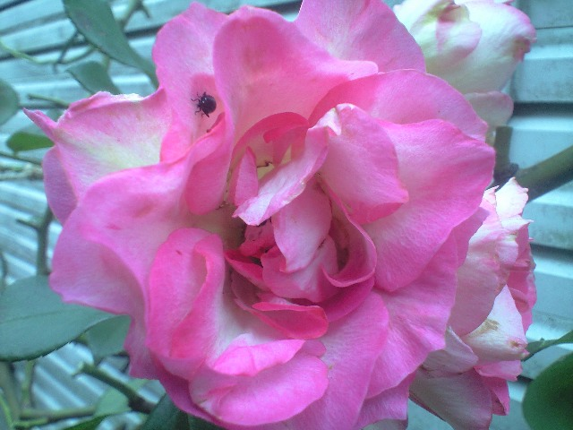 咲いています_e0070939_2151835.jpg