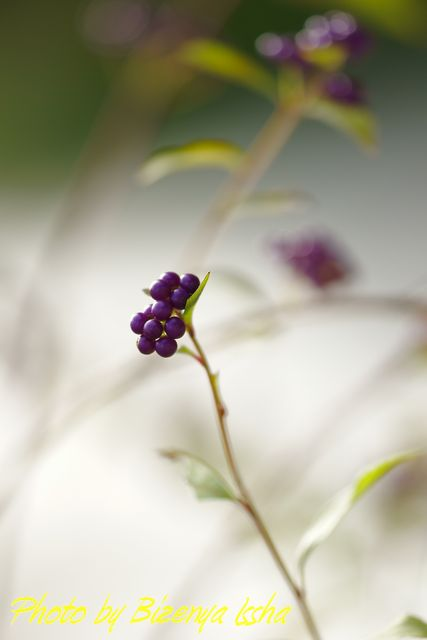 『小紫』_d0086248_23123428.jpg