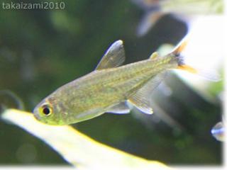 インレーロタラとか魚とか。。。_e0139056_22124019.jpg