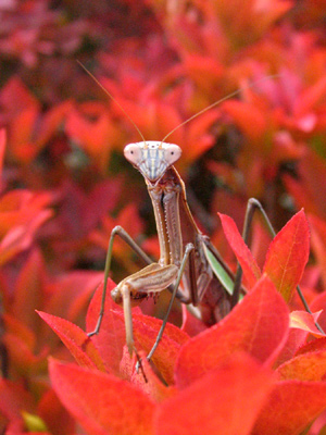 秋の蟷螂_b0183564_17275215.jpg