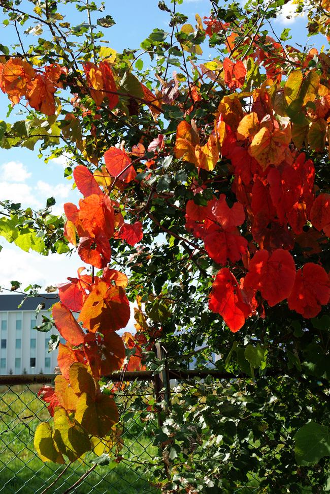 札幌の秋は自転車に乗って ~北大周辺の自転車散歩を振り返って~_c0223825_1492372.jpg