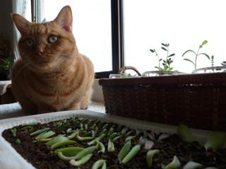 多肉植物葉挿しお手伝い猫 しぇるのぇる編。_a0143140_23452098.jpg