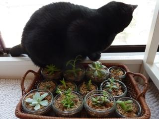 多肉植物葉挿しお手伝い猫 しぇるのぇる編。_a0143140_23491488.jpg