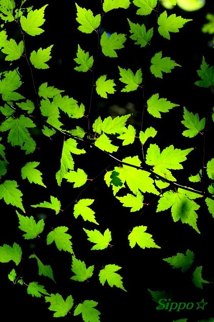 ■■ Dancin\' leaves ■■_c0195662_2342261.jpg