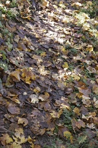 秋の晴れ間にマメ蒔き~11月の畑_f0106597_252426.jpg