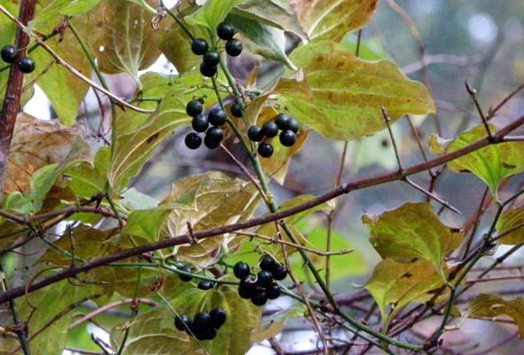 ヤマガシュウ、ムラサキシキブ  11月8日 2010年_e0005362_544699.jpg