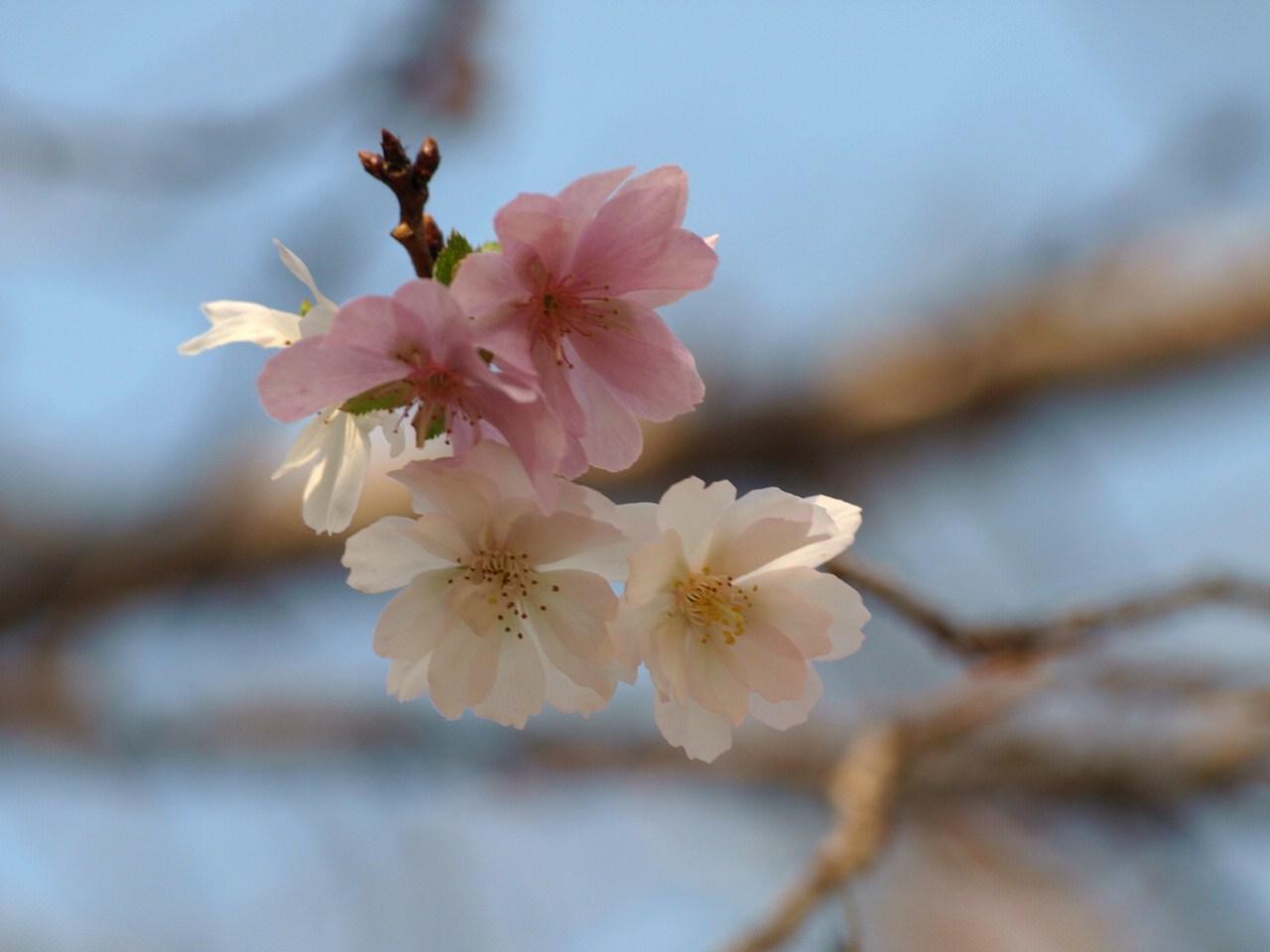 冬桜_e0094102_12102499.jpg