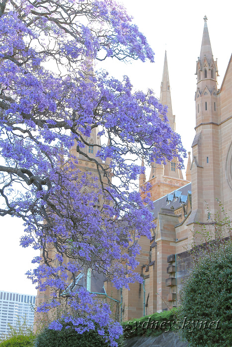 Jacaranda with Cathedral_f0084337_1118104.jpg