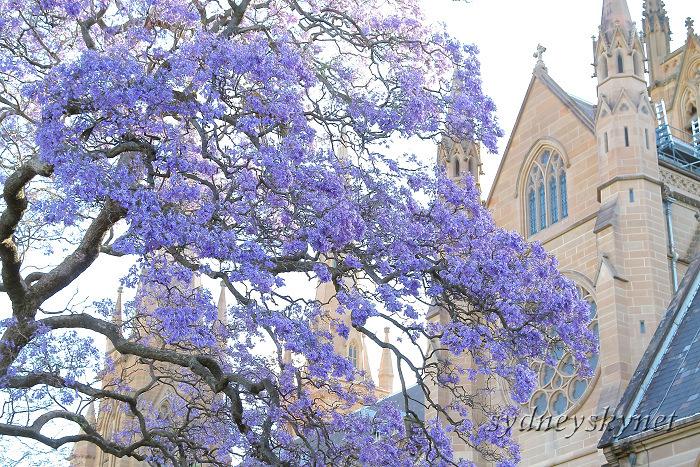 Jacaranda with Cathedral_f0084337_1153573.jpg