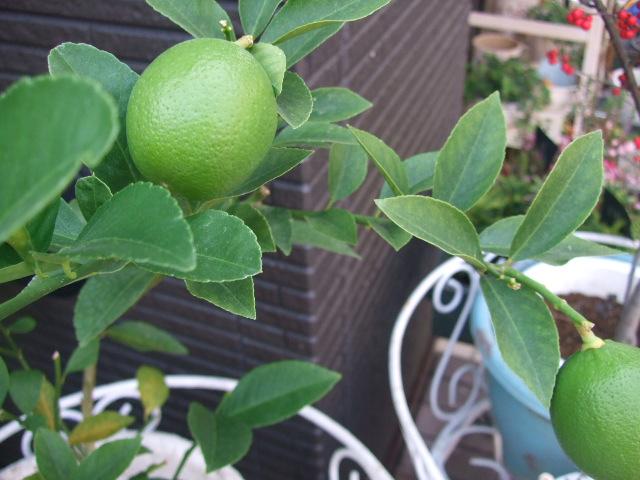 オークリーフ(今週も、老爺柿を置きました)_f0049672_12412112.jpg