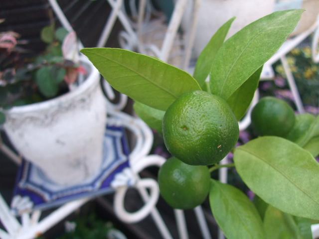 オークリーフ(今週も、老爺柿を置きました)_f0049672_1241846.jpg