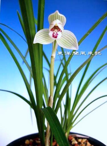 全国日本春蘭連合会                   No.368_b0034163_1293630.jpg