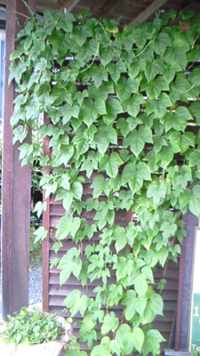 緑のカーテンその後_c0150273_1120128.jpg