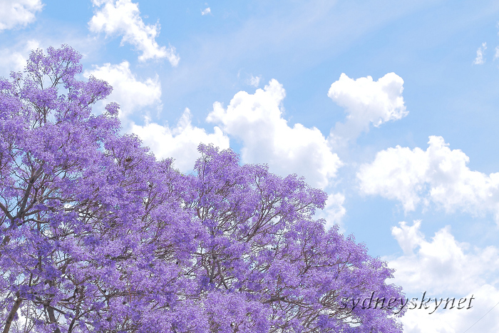Jacaranda in Blue Part2 _f0084337_18165578.jpg
