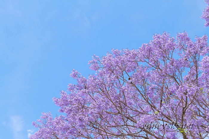 Jacaranda in Blue Part2 _f0084337_18172288.jpg