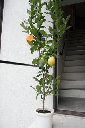 檸檬の木_d0086634_1003495.jpg