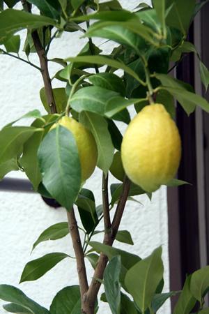 檸檬の木_d0086634_1005723.jpg