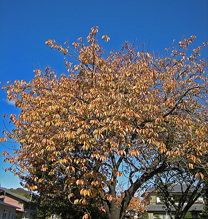 11月13日 白井宿の桜紅葉と白井城趾_a0001354_22365699.jpg