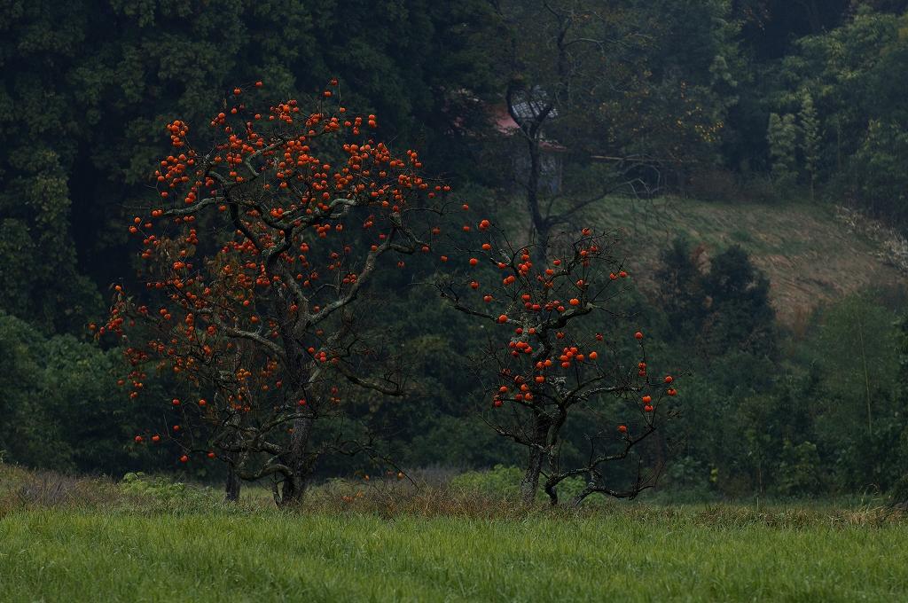 柿の木_f0018464_19393927.jpg