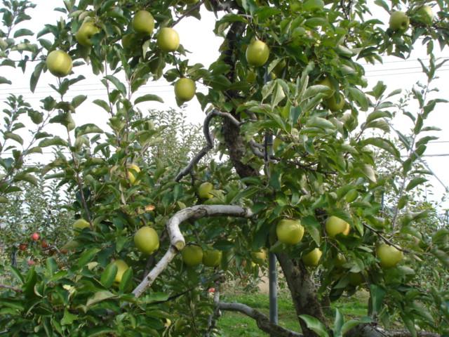 王林収穫です_e0019167_13505222.jpg