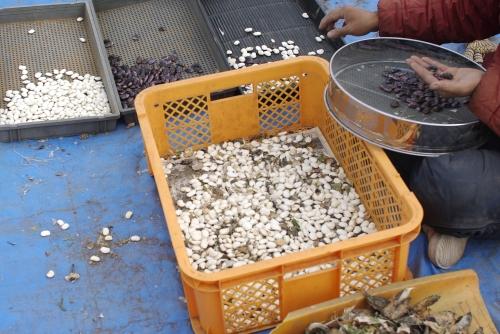 花豆の脱穀と選別_c0110869_21495747.jpg