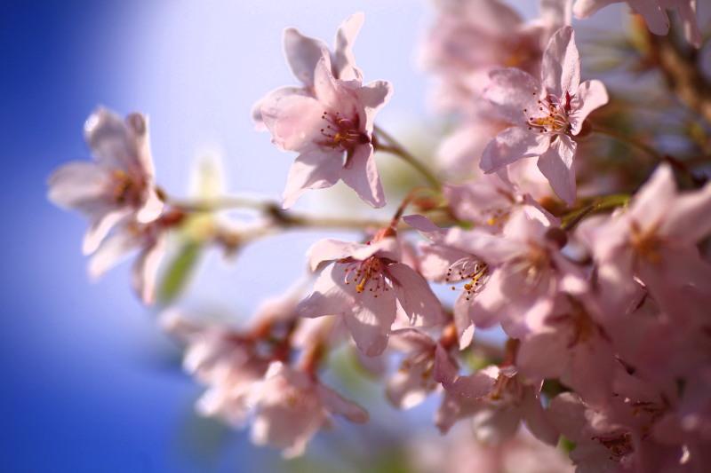 桜_f0075075_12233137.jpg