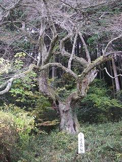 神渕神社の大杉_e0064783_10163363.jpg