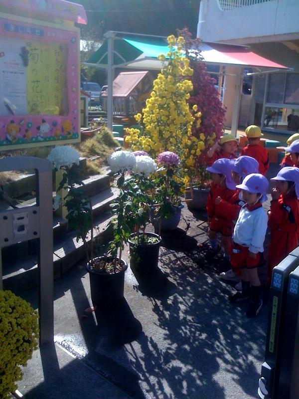 奉納菊花が園庭に来ました!子供達が集まります!_b0188106_14473991.jpg