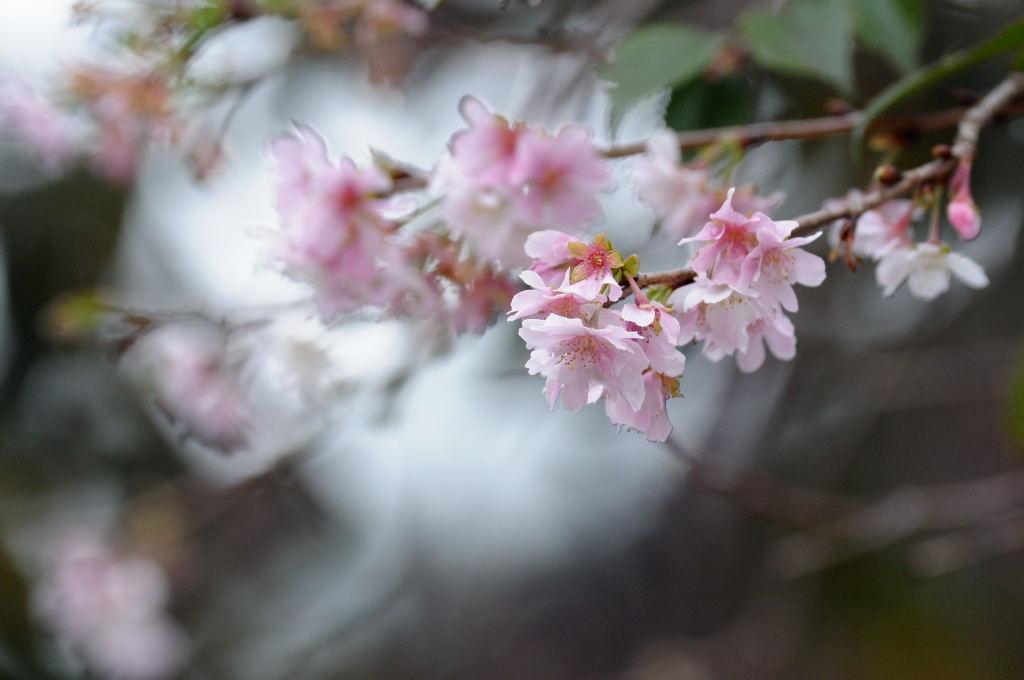 十月桜とアオバト_e0098619_2157968.jpg