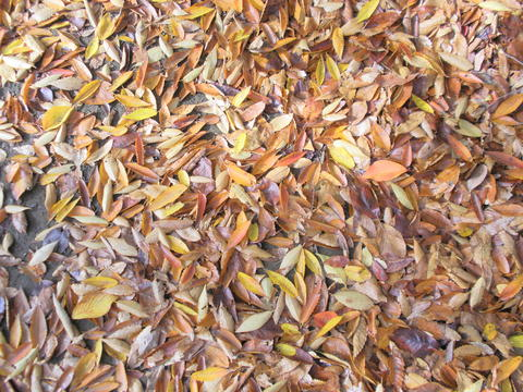 落ち葉の絨毯_b0205287_10532089.jpg