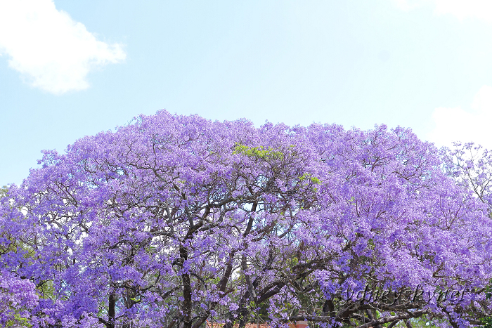 Jacaranda in Blue Part3_f0084337_18541270.jpg