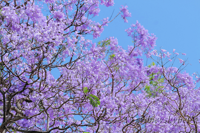 Jacaranda in Blue Part3_f0084337_18543939.jpg